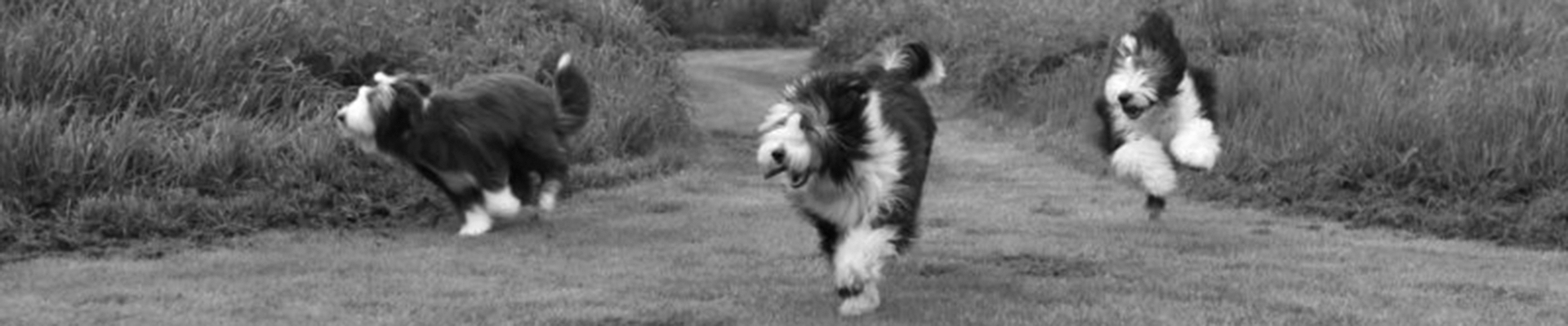 Royal-Rascal_Bearded-Collie_Header